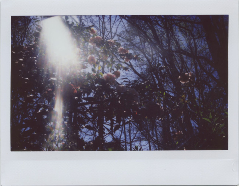 Mar19_instax_camellias