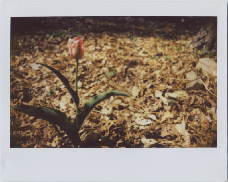 Mar19_instax_tulip1