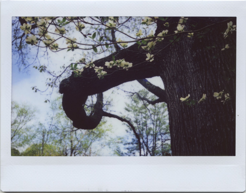 Apr19_instax_dogwoodoak3