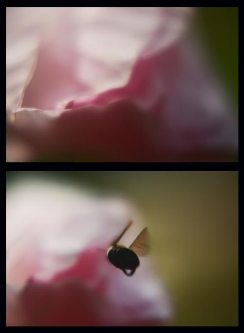 Hibiscusbee